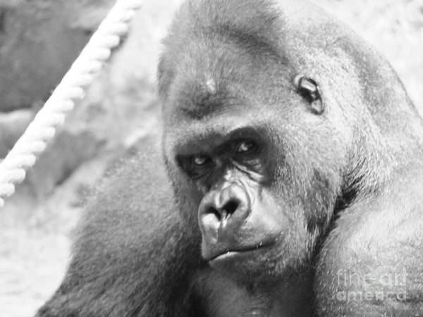 Gorilla Poster featuring the photograph Mother Gorilla In Thought by Jennifer Craft