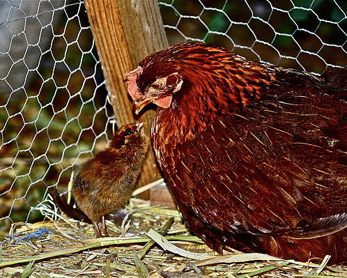 Fowl Poster featuring the photograph Mother's Love by Diana Hatcher