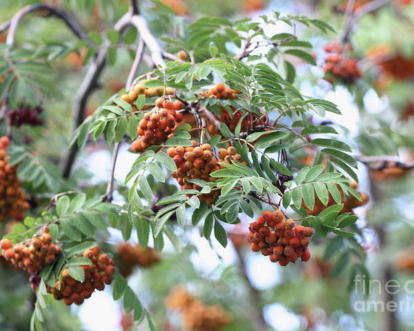 Mountain Ash Berries Poster featuring the photograph Mountain Ash Berries by Wayne Kemp
