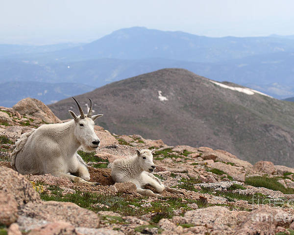 Mountain Goat Poster featuring the photograph Mountain Goat Mother And Kid In Mountain Home by Max Allen