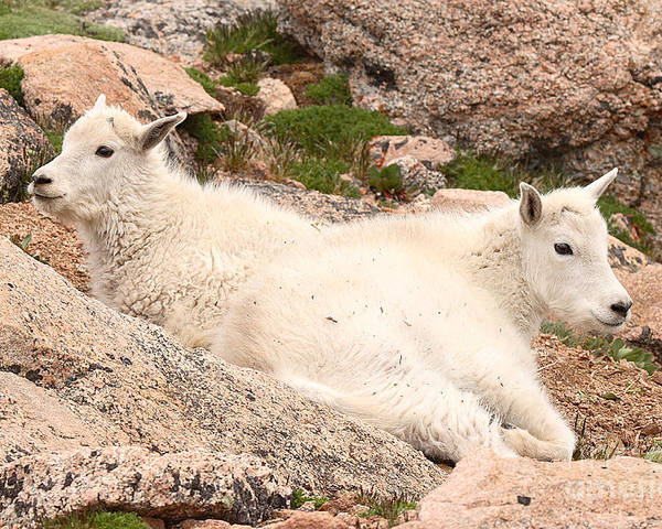 Mountain Goat Poster featuring the photograph Mountain Goat Twins by Max Allen