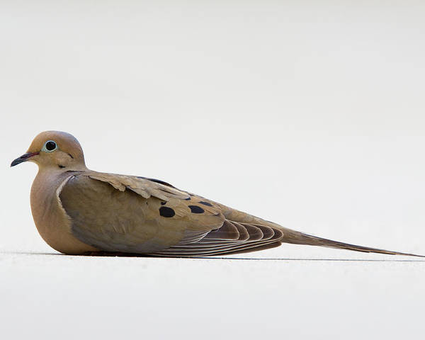 Dove Poster featuring the photograph Mourning Dove by Shelly OBrien