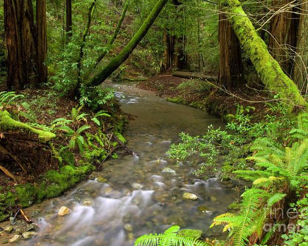 Muir Woods Poster featuring the photograph Muir Woods Stream by Matt Tilghman