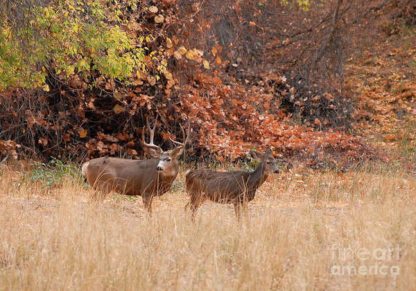 Deer Poster featuring the photograph Mule Deer Autumn by Dennis Hammer