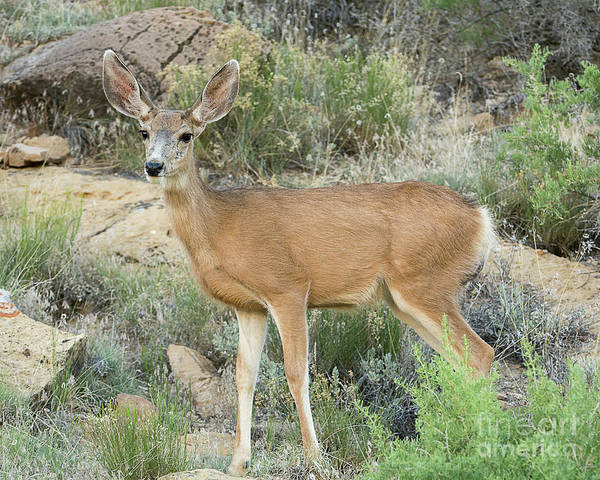 Mammal Poster featuring the photograph Mule Deer in the Uintas by Dennis Hammer