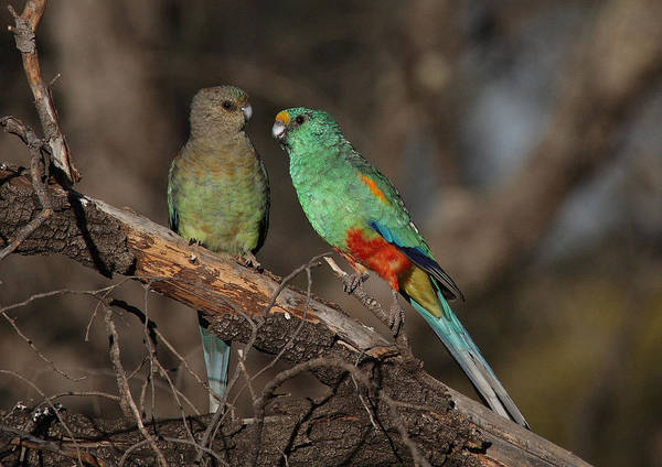 Parrot Poster featuring the photograph Mulga Parrot Pair by Tony Brown