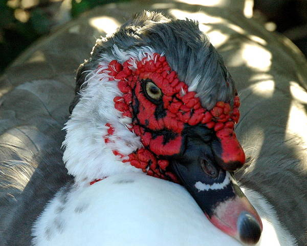 Bird Poster featuring the photograph Muscovy Curls by Teresa Blanton