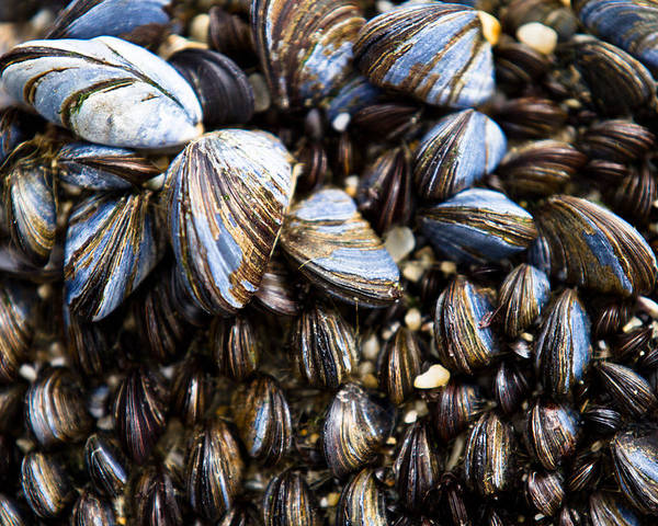 Mussels Poster featuring the photograph Mussels by Justin Albrecht