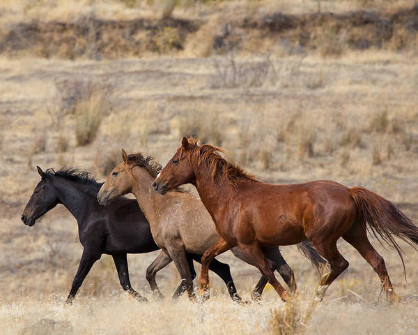 Horses Poster featuring the photograph Mustang Trio by Mike Dawson