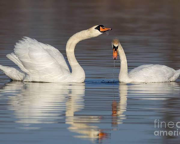 Animal Poster featuring the photograph Mute Swans Drinking by Jerry Fornarotto