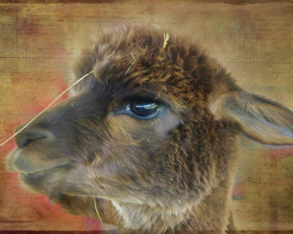 Alpaca Poster featuring the photograph My Best Side Profile by Marilyn Wilson