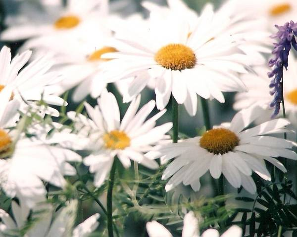 Daisies Poster featuring the photograph My Daisies by Jackie Mueller-Jones