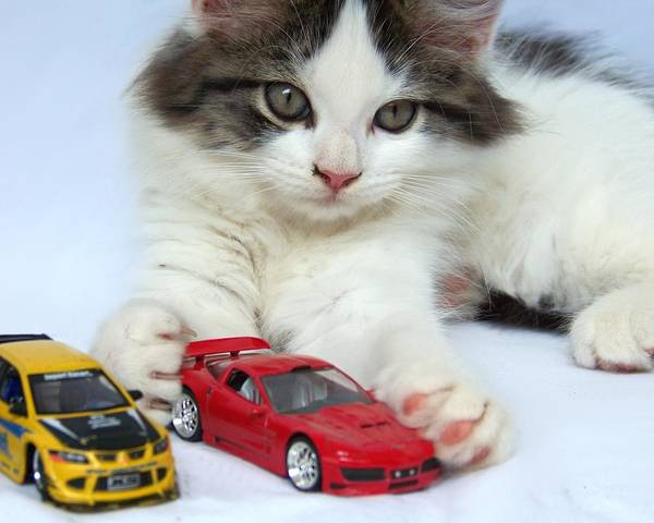Kitten Poster featuring the photograph My Toys by Jai Johnson
