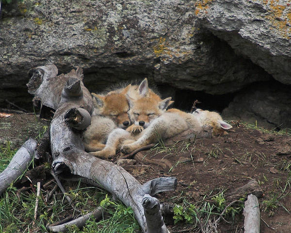 Coyote Poster featuring the photograph Nap Time by Steve Stuller