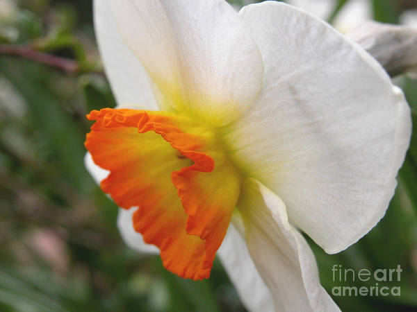 Flower Poster featuring the photograph Narcissus II by Michelle Hastings