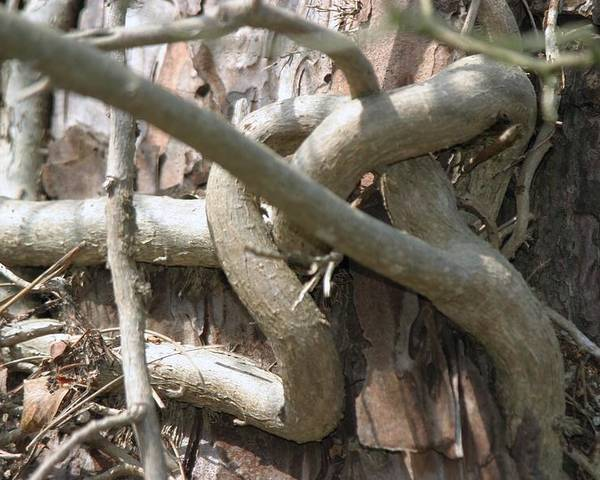 Tree Poster featuring the photograph Natural Knot by Dagmar Batyahav