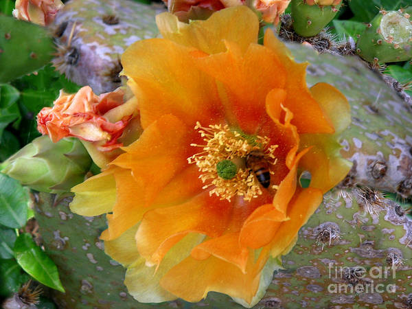 Nature Poster featuring the photograph Nature In The Wild - Cactus Honey by Lucyna A M Green