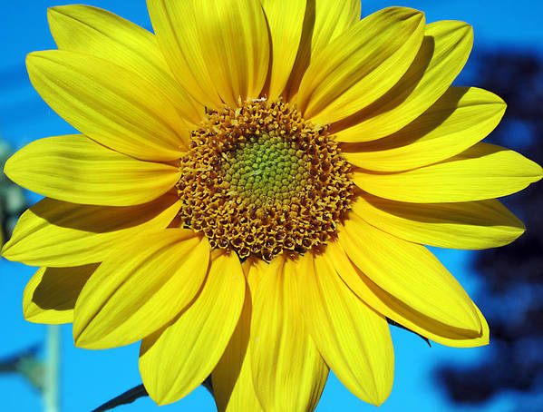 Sunflower Poster featuring the photograph Natures Perfection by JoAnn Lense