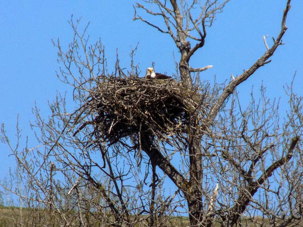 Eagles Poster featuring the photograph Nesting Bald Eagle by William Tasker