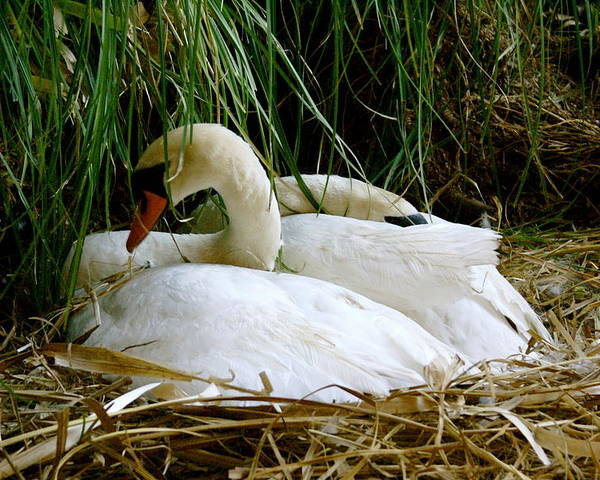 Animals Poster featuring the photograph Nesting Swans by Sonja Anderson