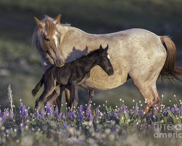 Carol Walker Poster featuring the photograph Newborn Filly At Dawn by Carol Walker