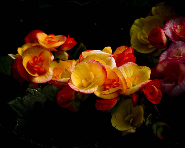Begonia Poster featuring the photograph Night Begonias Two by John Ater