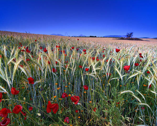 Poppies Poster featuring the photograph Night Poppies by Guido Montanes Castillo