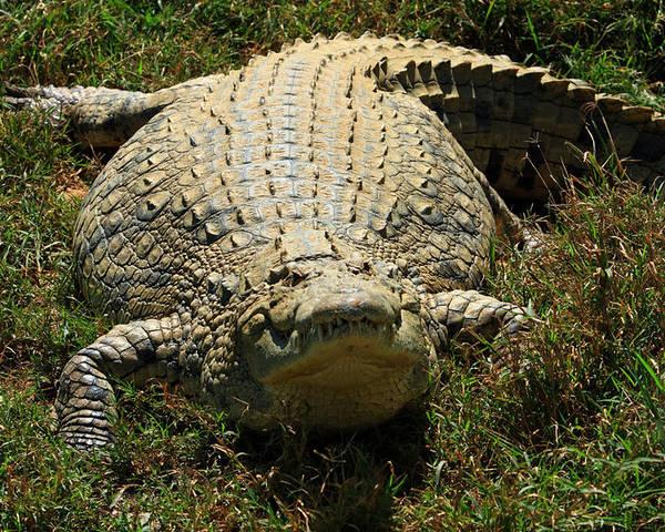 Crocodile Poster featuring the photograph Nile Crocodile - Africa by Aidan Moran