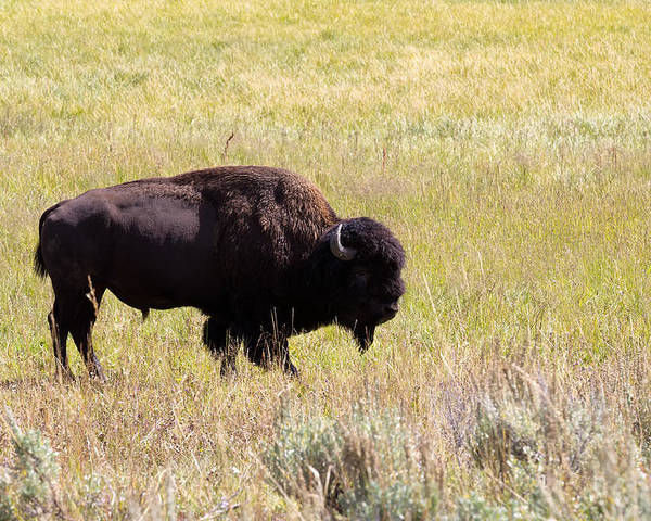Bison Poster featuring the photograph North American Bison- Buffalo In Field by Thomas Baker