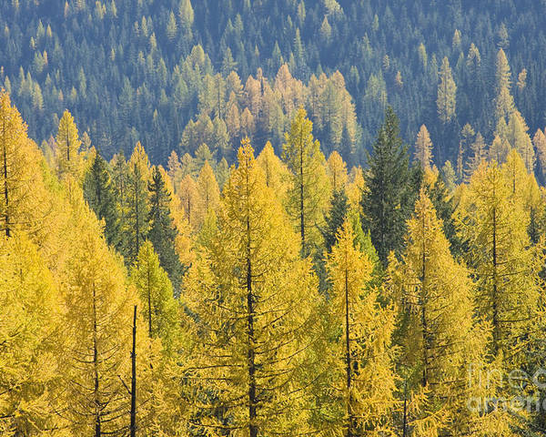 Trees Poster featuring the photograph North Idaho Gold by Idaho Scenic Images Linda Lantzy