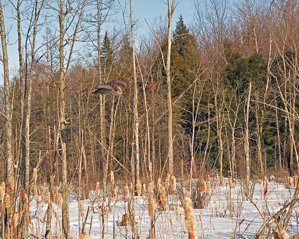 Great Gray Owl Poster featuring the photograph Northern Forests Ghost In-flight by Asbed Iskedjian