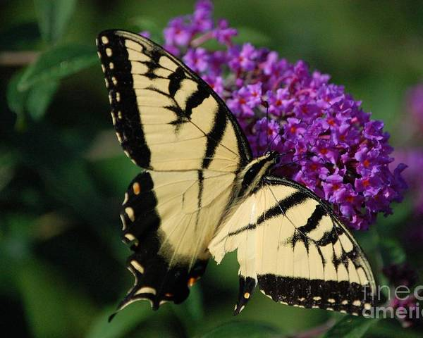 Butterfly Poster featuring the photograph Nothing Is Perfect by Debbi Granruth
