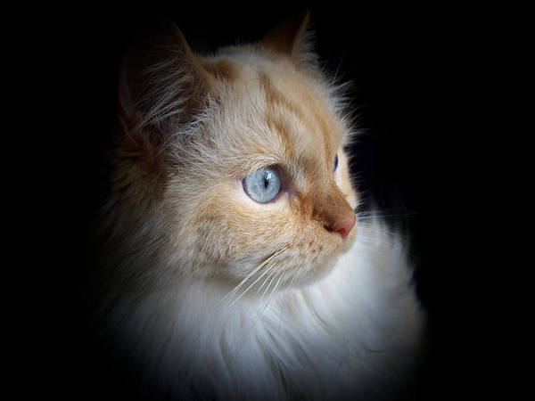 Cat Poster featuring the photograph Nova The Napoleon by Lynda Pinckard