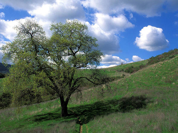 Oak Trees Poster featuring the photograph Oak Tree With Clouds by Kathy Yates