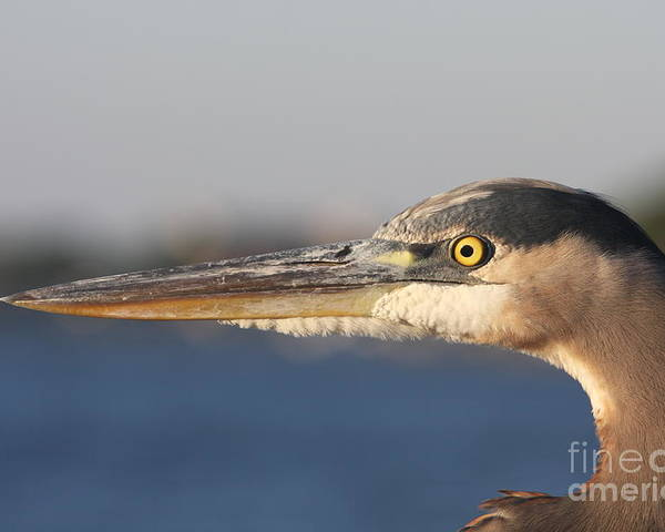 Heron Poster featuring the photograph Observant Eye - Heron Portrait by Christiane Schulze Art And Photography