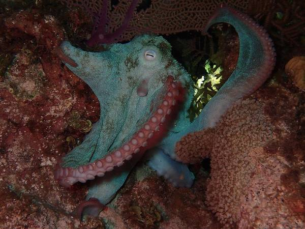 Macro Of Octopus On The Reef Poster featuring the photograph Octopus On Night Dive by Nina Banks
