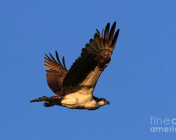Osprey Poster featuring the photograph Osprey Flying By by Craig Corwin