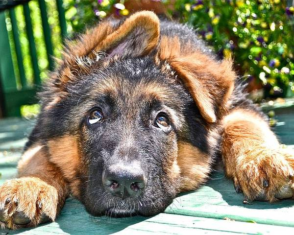 German Shepherd Dog Poster featuring the photograph Oh My Ears by Danielle Sigmon