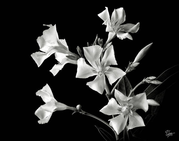 Flower Poster featuring the photograph Oleander In Black And White by Endre Balogh