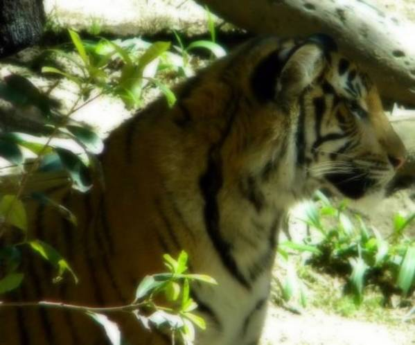 Tiger Poster featuring the photograph On Alert by Amanda Eberly-Kudamik