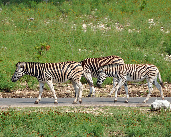 Zebra Poster featuring the photograph On The Road Again by Teresa Blanton