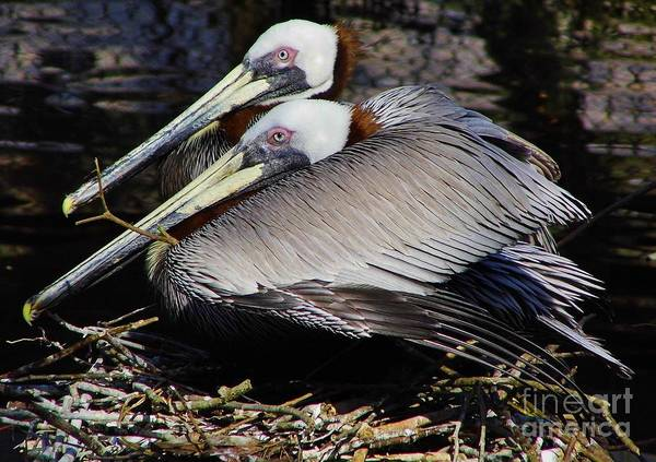 Pelican Poster featuring the photograph On Their Nest by D Hackett
