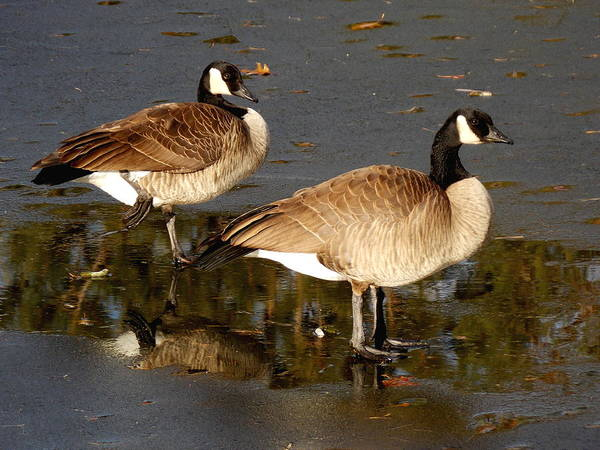 Canada Geese Poster featuring the photograph On Thin Ice by Kristina Lammers