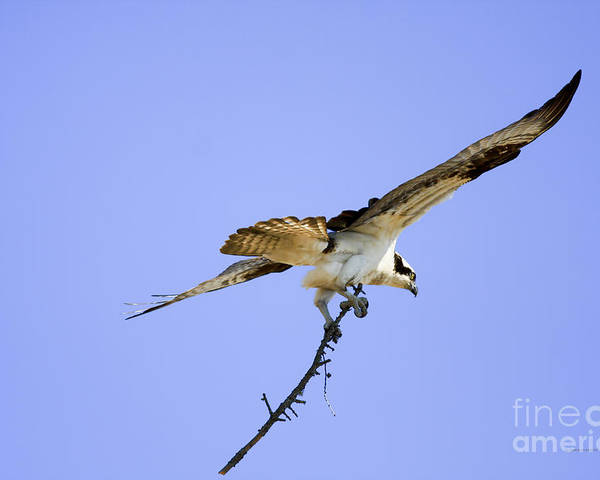 Osprey Poster featuring the photograph On To The Nest by Deborah Benoit