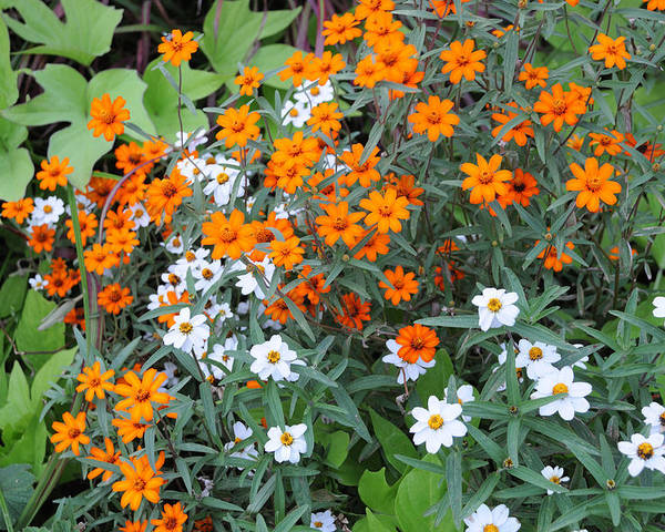 Flowers Poster featuring the photograph Orange And White by Terese Loeb Kreuzer