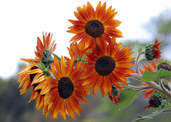 Sunflower Poster featuring the photograph Orange Sunflower 1 by Amy Fose
