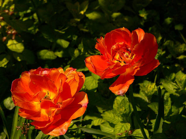 'orange Tulips' Poster featuring the photograph Orange Tulips In My Garden by Helmut Rottler