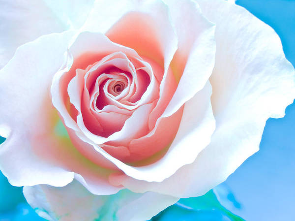 All Poster featuring the photograph Orange White Blue Abstract Rose by Artecco Fine Art Photography