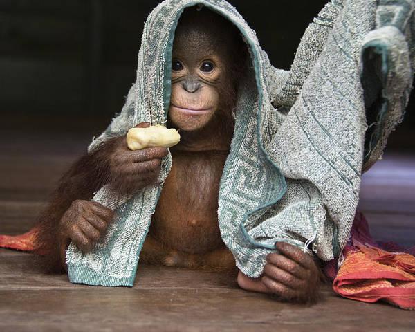 00486841 Poster featuring the photograph Orangutan 2yr Old Infant Holding Banana by Suzi Eszterhas
