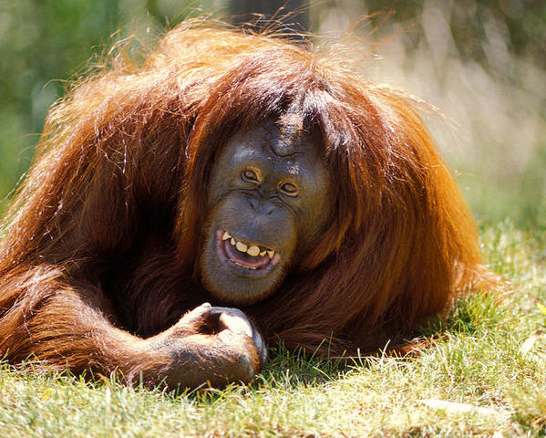 Animal Poster featuring the photograph Orangutan In The Grass by Garry Gay